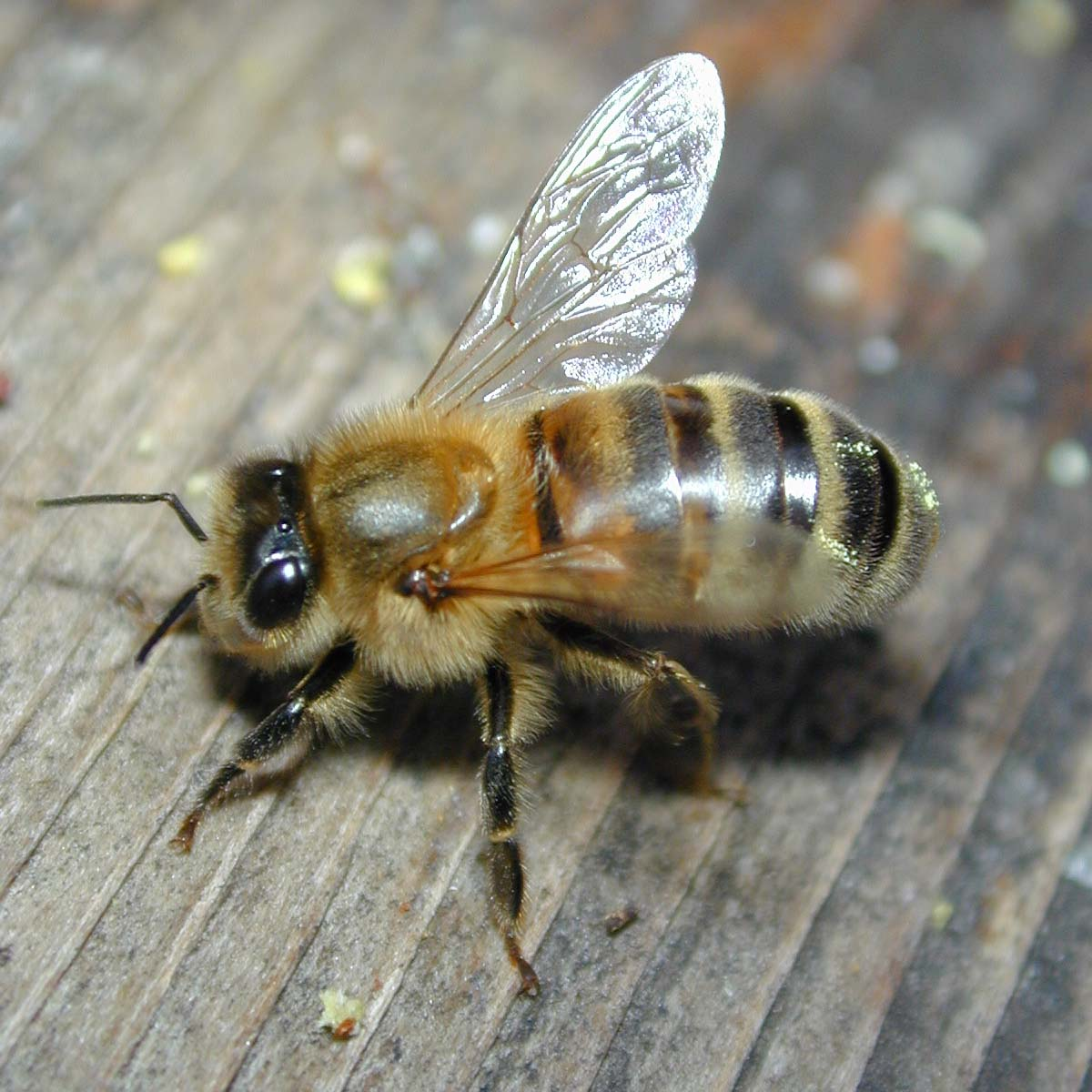 http://www.wmconnolley.org.uk/bees/DSCN6624-bee-close_1200x1200.JPG